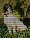 English Springer Spaniel Crochet Pattern