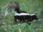 Skunks Afghan Kits