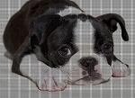 Boston Terrier Crochet Pattern